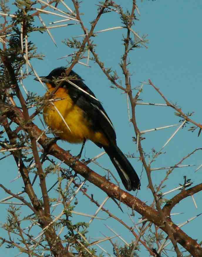 Yellow Morph Crimson-breasted Shrike