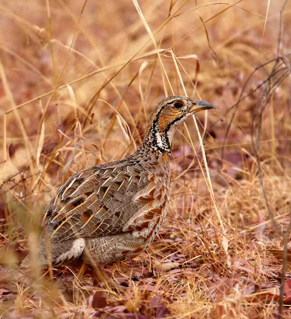 Shelly's Francolin