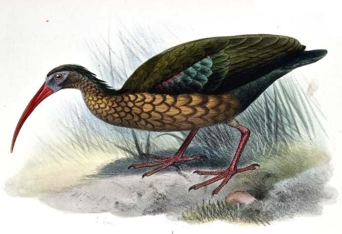 Olive Ibis