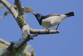 Amani Sunbird