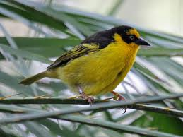 Female Baglafecht's Weaver