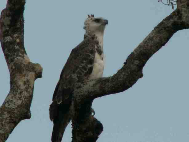 Juvenile Crowned Eagle