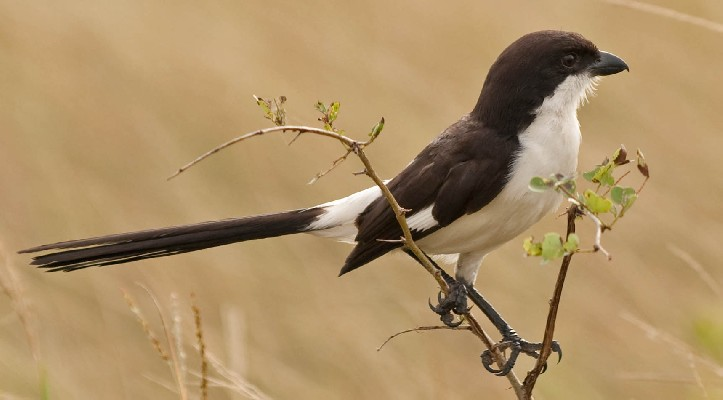 Long-tailed Fiscal