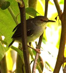 Long-billed Tailorbird