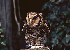 "Usambara Eagle Owl ""Bubo vosseleri"""