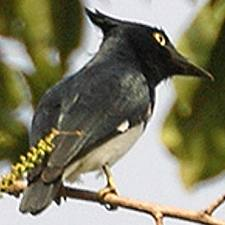 Male Black & White Flycatcher