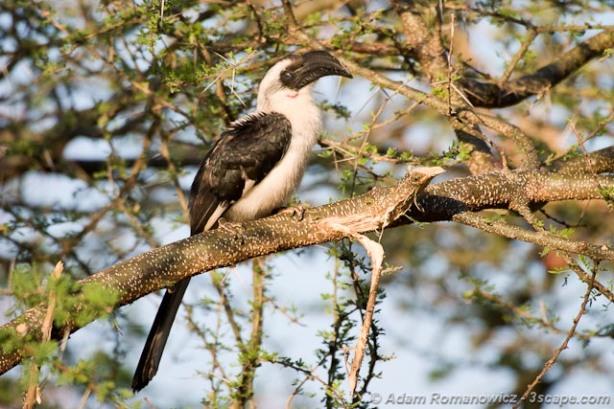Female von der Decken's Hornbill