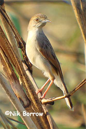 White-tailed Cisticola