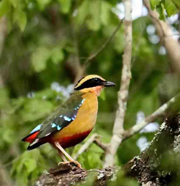 Pitta angolensis