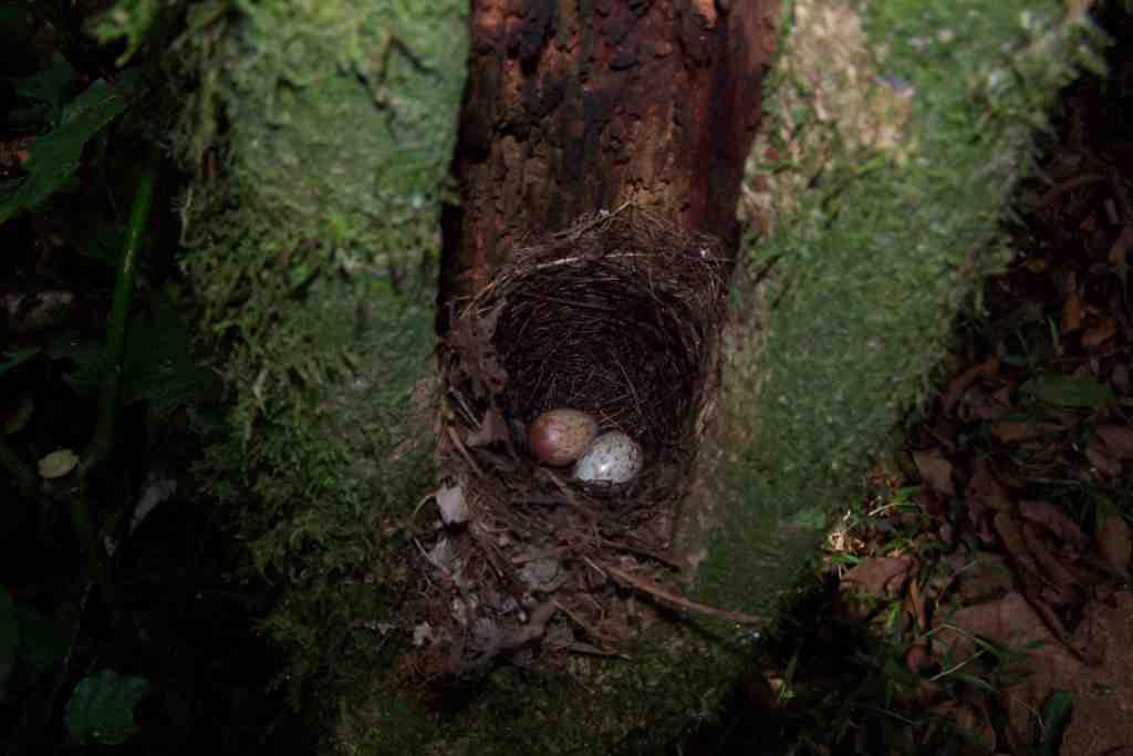 Swynnerton's Robin nest