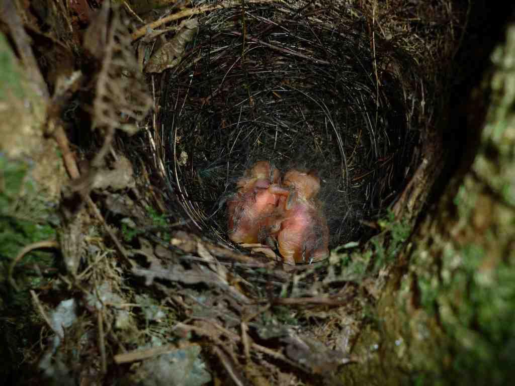 Swynnerton's Robin Chicks