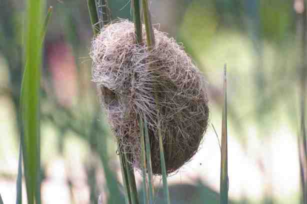 Thick-billed Weaver Nest