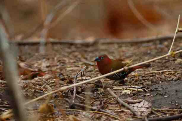 Red-throated Twispot