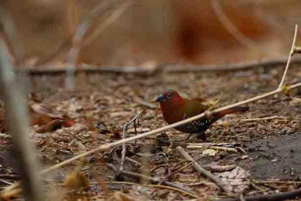 Red-throated Twispot
