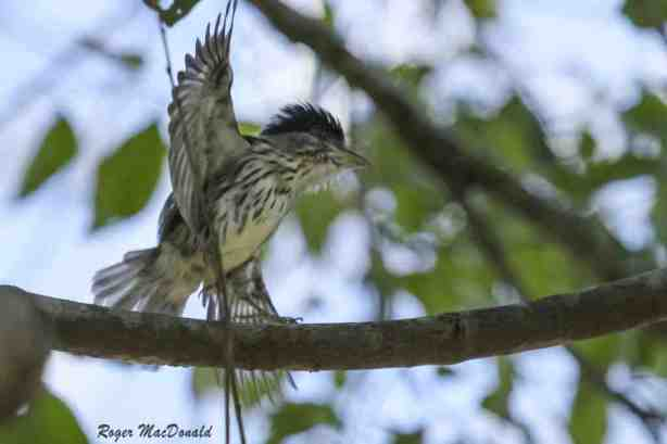 Displaying Broadbill