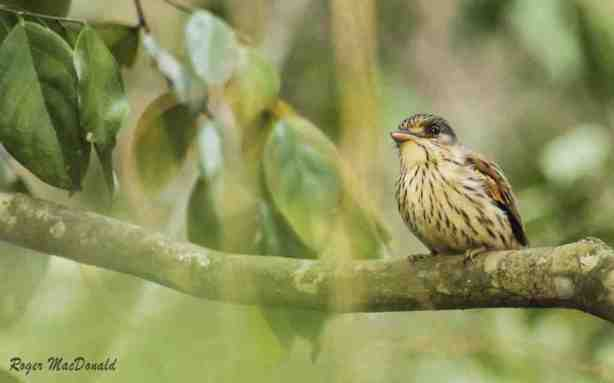 Female African Broadbill