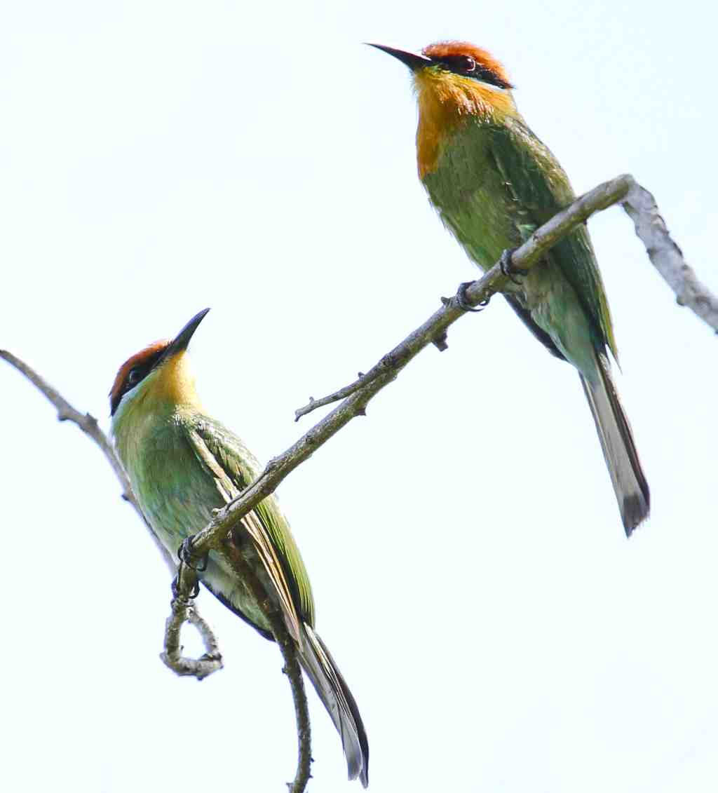 Böhms Bee-eaters
