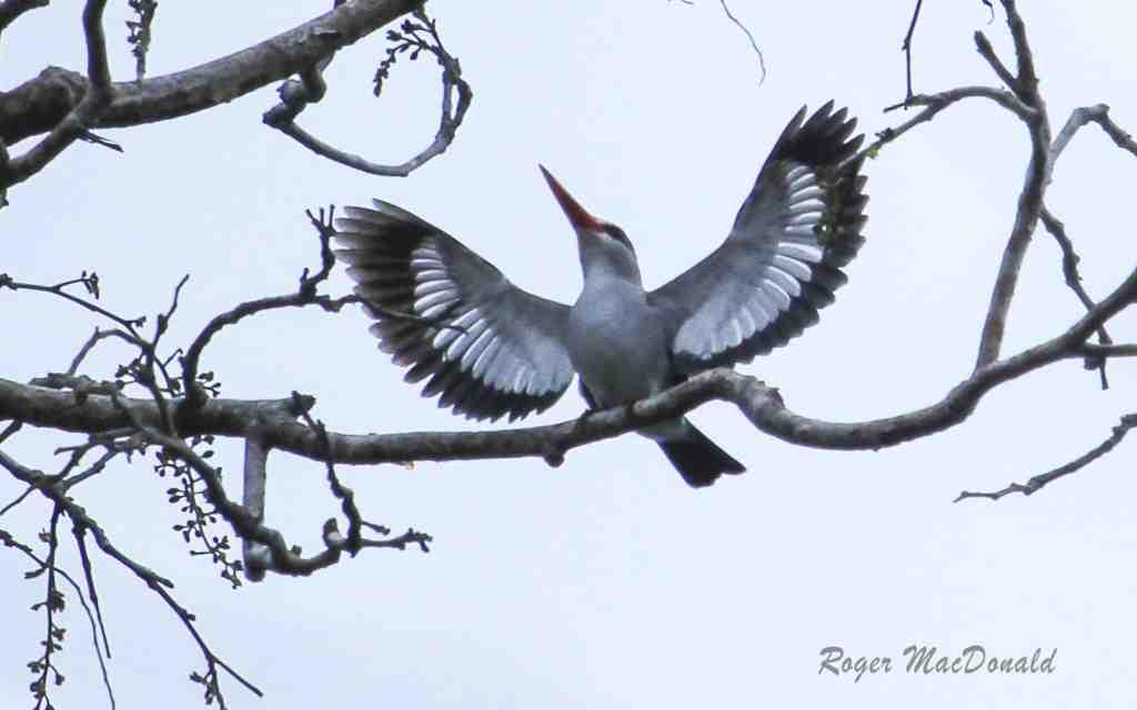 Mangrove Kingfisher breeding display