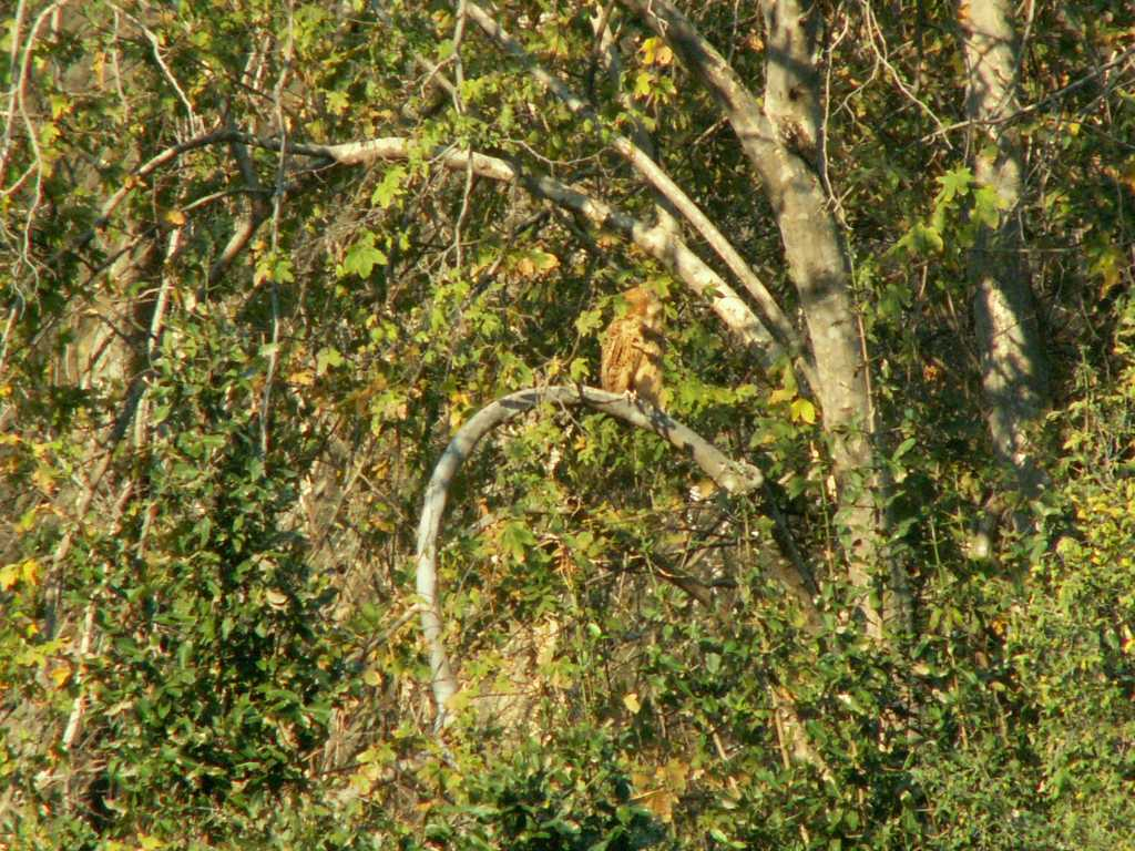 Nyamoumba Pel's Fishing Owl