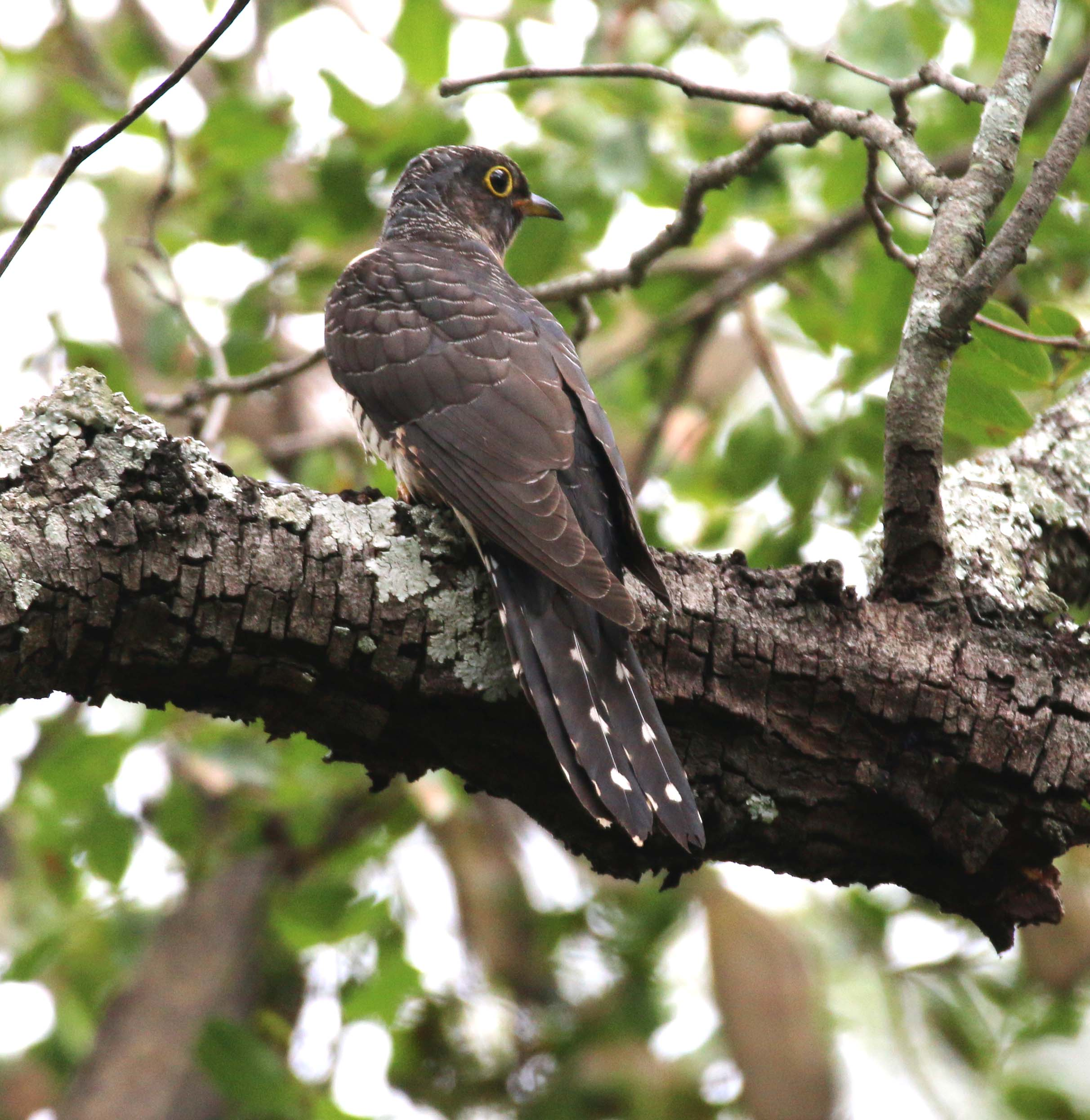 Cuckoo Common2 (hepatic)_Christon Bank